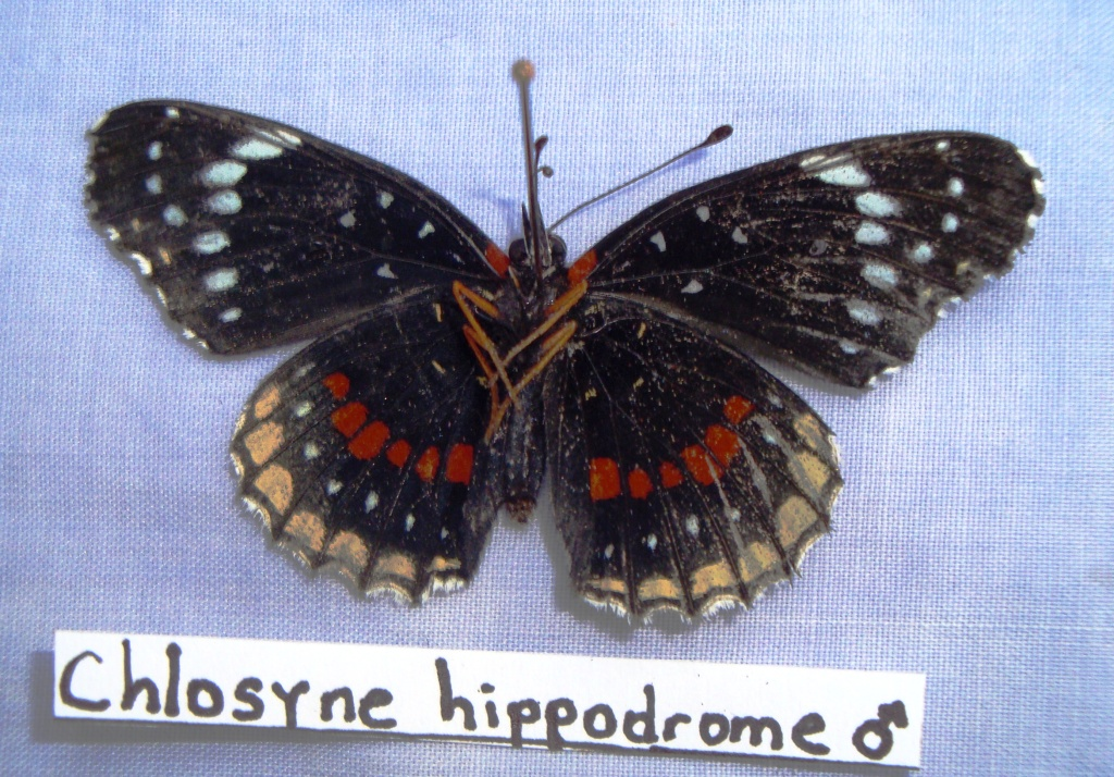 simple checkerspot